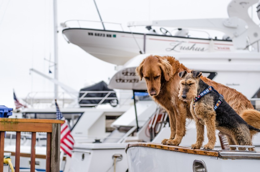 One brown and one black and brown dog sitting on a boat with yachts in the background